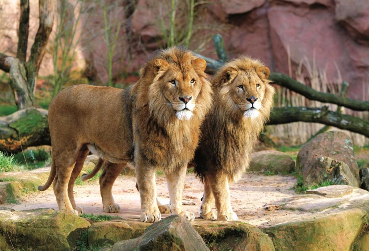 Trefl Puzzle Lions 1500 Parça