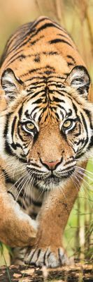 Trefl Puzzle Home Gallery Leaping Tiger 300 Parça