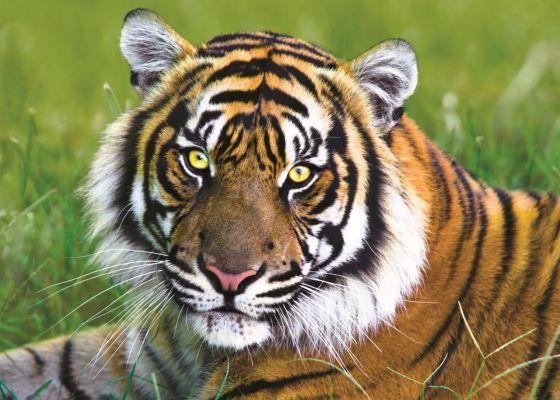 Trefl Puzzle Tiger 500 Parça