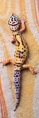 Trefl Puzzle Home Gallery Basking Lizard 300 Parça