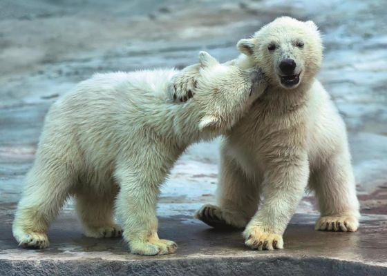 Trefl Puzzle Polar Bears 500 Parça