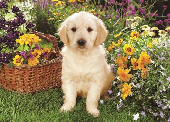 Puppy Labrador In The Garden